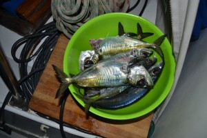 These fish were caught after dark. There were 16 fish in total. Frans couldn't keep up with the cleaning.  As soon as you dangle the lures, there is a tug. Of course, each girl had to have at least a few tries.