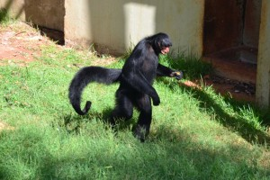 Spider Monkey - Here it looks especially weird. Their tales are like an extra finger (a strong one, mind you) and their heads look way out of proportion!