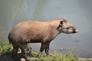 The Tapir! Legendary beast. I read about it for the first time in a Willard Price book ;)