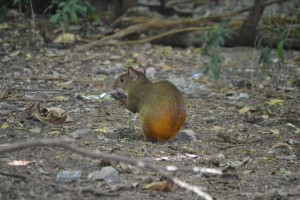 It looks like a cross between a rodent and a fawn. Maybe a squirrel without the tail . . .