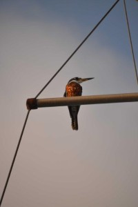 Ringed Kingfisher (Magaceryle torquata); it's sitting on one of our boat's spreaders