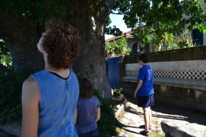 """One of 20 Boabab trees imported onto Paqueta. This one was dubbed """"Maria the Fatty"""" by locals. To our minds, this tree was far too green and lush compared to our Boababs back home."""
