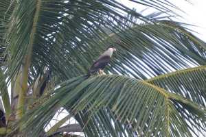 And this is a Southern Crested Caracara (Caracara plancus) which we saw at Ilha Grande