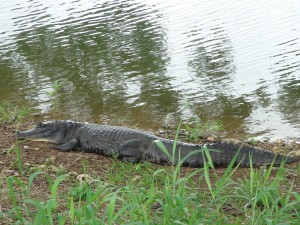 First stop we saw some caiman - they were in the river flowing through an estate!