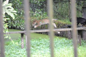 Where poor yellow jaguar makes his leap to freedom