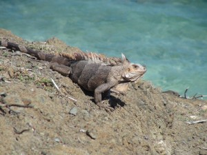 We did a specific trip to this little island to take pictures of the iguanas. It was strange, but we only ever really found iguanas on this islet.