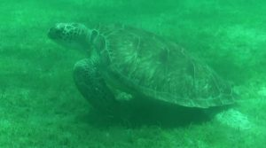 Turtle grazing on the grass underneath our boat