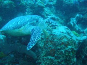 Turtle eating a sponge. This was at about 25m deep.
